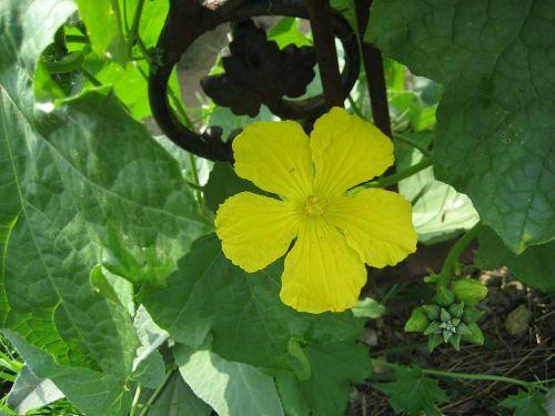 loofah vine loofah flower vine