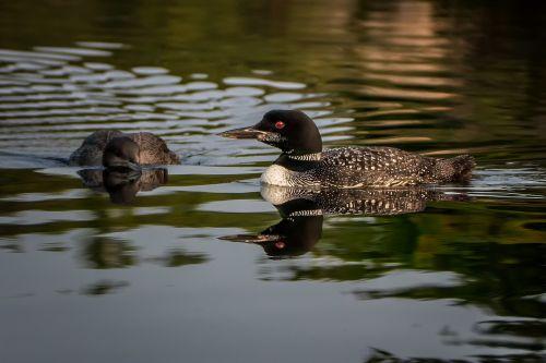 loon nature bird