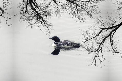 loon duck goose