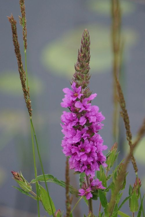 loosestrife lythrum salicaria the base of purple loosestrife