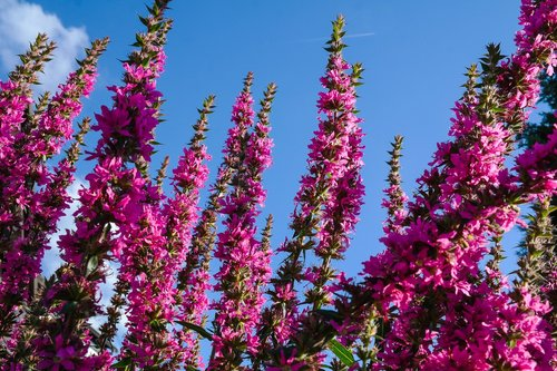 loosestrife  pink flowers  plant