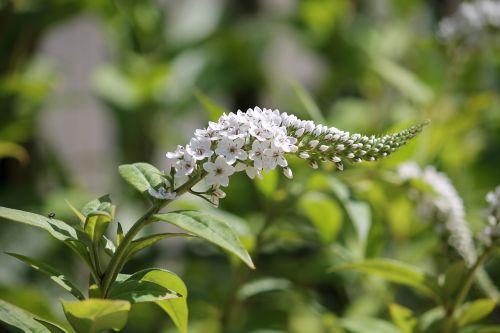 loosestrife flower blossom