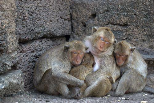 lop buri phra prang sam yot monkey