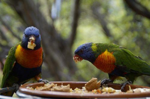 lori,eat,loro park,zoo,bird aviary,two,pair,for two,peck,food intake,birds,parrots,parrot,mountain lorikeet