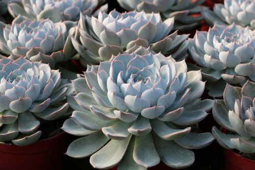 lotus cute succulent plants