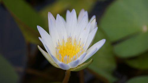 lotus nature flowers