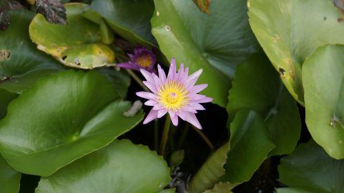 lotus purple lotus water