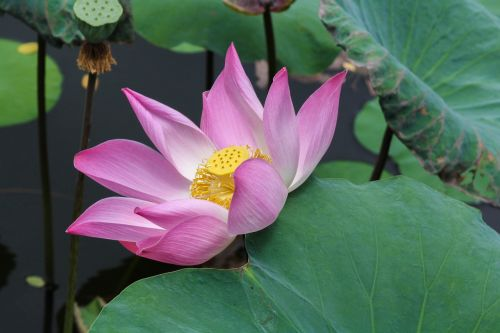 lotus flower nature