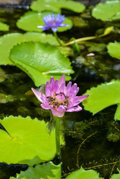 lotus lotus leaf flowers
