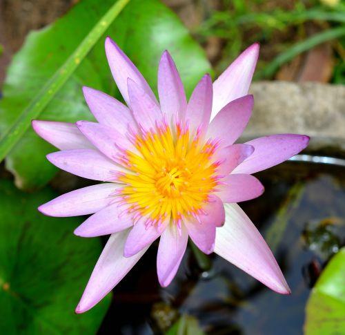 lotus flowers plant
