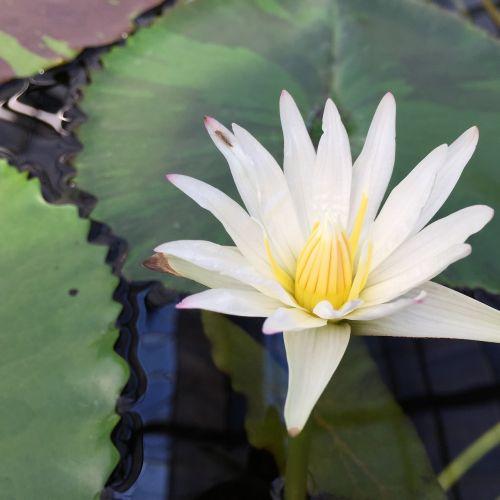 lotus torus flowers