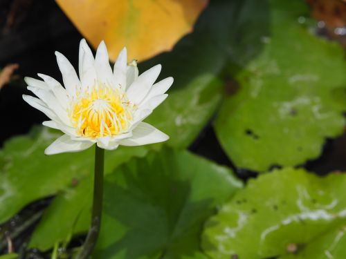 lotus white white lotus