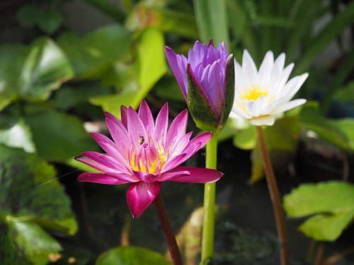 lotus red bright