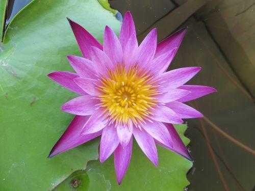 lotus purple flowers