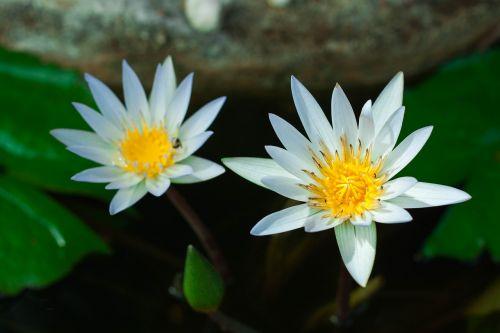 lotus flowers lotus leaf