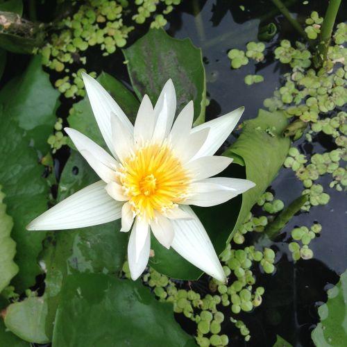 lotus white bua ban