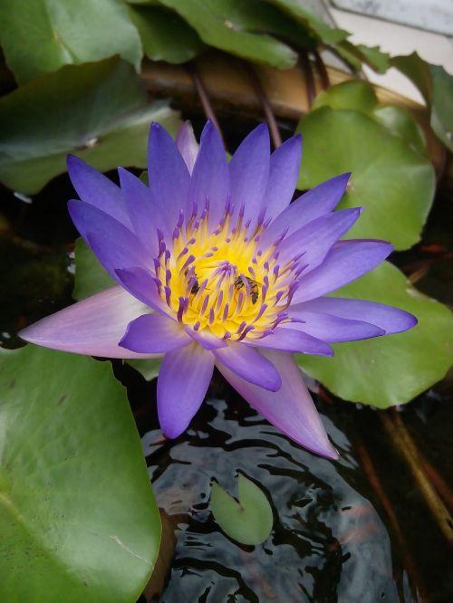 lotus lotus leaf bua ban