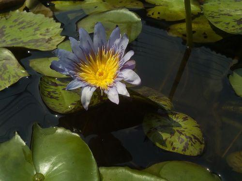 lotus lotus leaf nature