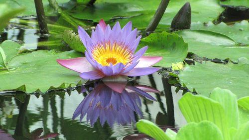 lotus flower nymphaea caerulea