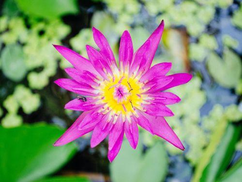 lotus nature lotus leaf