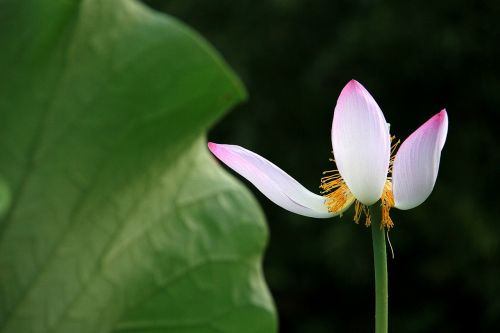 lotus white withers
