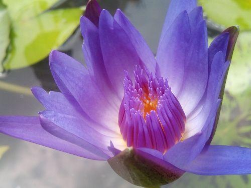 lotus purple lotus refreshing