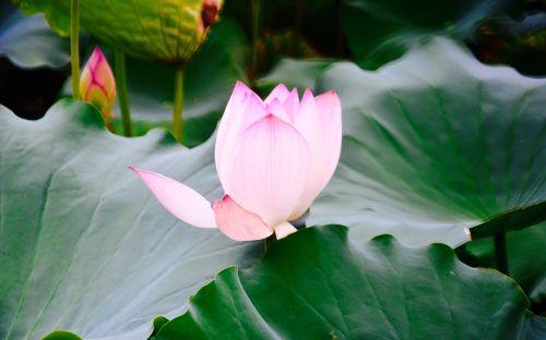 lotus views still life