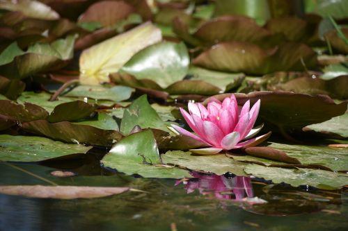 lotus yuyuantan park summer
