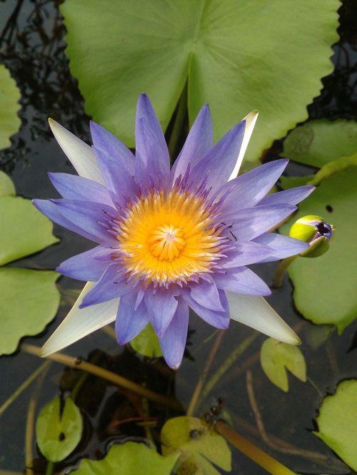 lotus beautiful bright