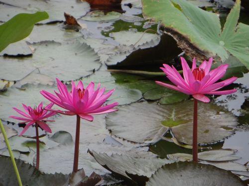 lotosas,gėlė,tvenkinys,augalas,žydėti,flora,žydi,vandens,žiedas,sodas,lapai,ežeras,botanika,lauke,spalvinga,raudona,žalias,gamta,spalva,aplinka,balta,šviežias,sodininkystė,botanikos,sezonas,natūralus,parkas,sezoninis,spalvinga,spalva,vaizdingas,kraštovaizdis,ujjain,Madhya Pradesh,Indija,gražus,neįtikėtina Indija,Šalis,peizažas,asija