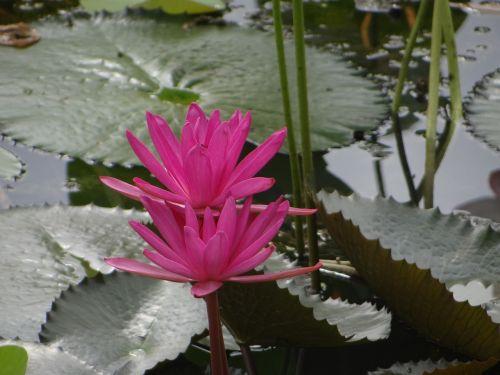 lotosas,gėlė,tvenkinys,gamta,aplinka,lapai,vanduo,mėlynas,kraštovaizdis,gyvas,kelionė,vaizdingas,raudona,vaizdingas,lauke,žalias,augalas,saulės šviesa,natūralus,spalvinga,parkas,žydėti,žiedas,musonas,gėlių,sezonas,šviesus,spalva,botanika,sodininkystė,botanikos,sezoninis,sodas,filialas,žydi,šviežias,botanikos,ujjain,Madhya Pradesh,Indija,gražus,neįtikėtina Indija