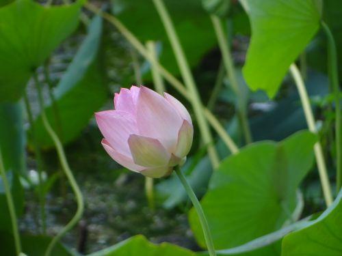 lotosas,gėlė,tvenkinys,augalas,žydėti,flora,žydi,vandens,žiedas,sodas,lapai,ežeras,botanika,lauke,spalvinga,rožinis,žalias,gamta,spalva,aplinka,balta,šviežias,sodininkystė,botanikos,sezonas,natūralus,parkas,sezoninis,spalvinga,spalva,vaizdingas,kraštovaizdis,ujjain,Madhya Pradesh,Indija,gražus,neįtikėtina Indija,Šalis,peizažas