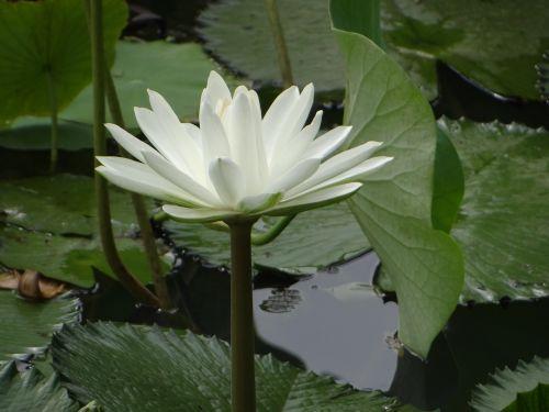 lotosas,gėlė,tvenkinys,augalas,žydėti,flora,žydi,vandens,žiedas,sodas,lapai,ežeras,botanika,lauke,spalvinga,balta,žalias,gamta,spalva,aplinka,šviežias,sodininkystė,botanikos,sezonas,natūralus,parkas,sezoninis,spalvinga,spalva,vaizdingas,kraštovaizdis,ujjain,Madhya Pradesh,Indija,gražus,neįtikėtina Indija,Šalis,peizažas