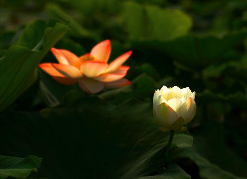 lotus flower works