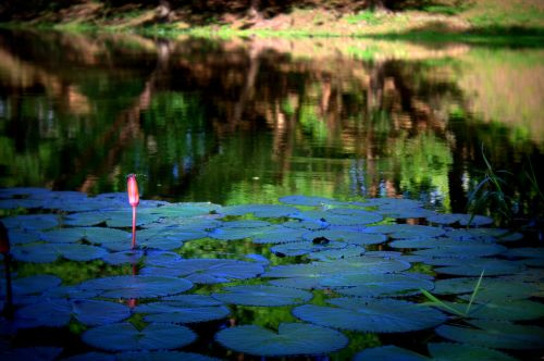 lotus siem reap cambodia