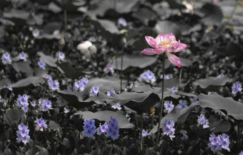 lotus goa color