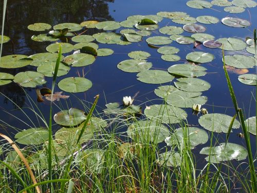 lotus nature lakes