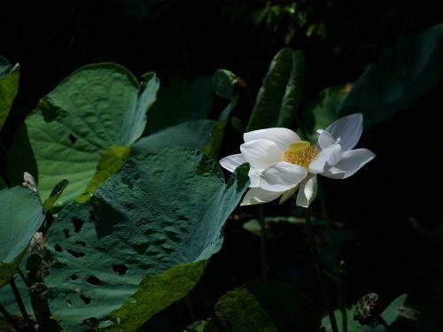 lotus lotus white bua ban