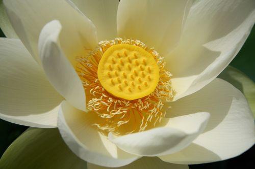 lotus lotus blossom water lily