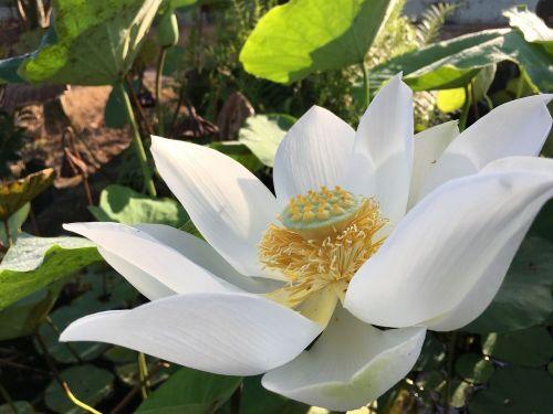 lotosas,žydi,kreivė,balta,geltona,ovalus,žalias,fonas