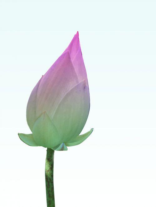 lotosas,graži kreive,ragas,rožinis,žalias,fonas,modelis