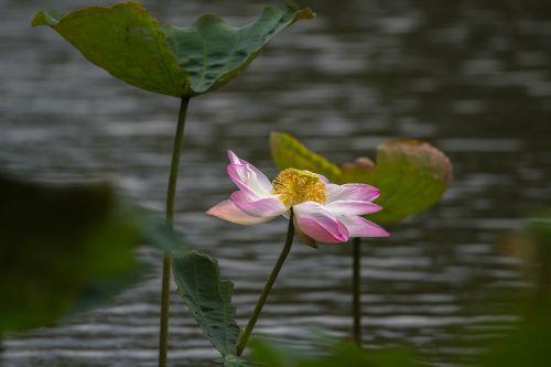 lotus flower lotus leaf