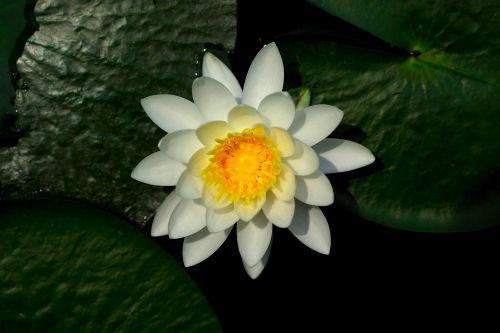 lotus lily aquatic