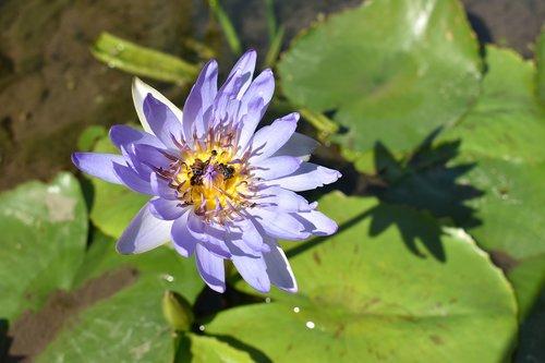 lotus  flower  flower blooming