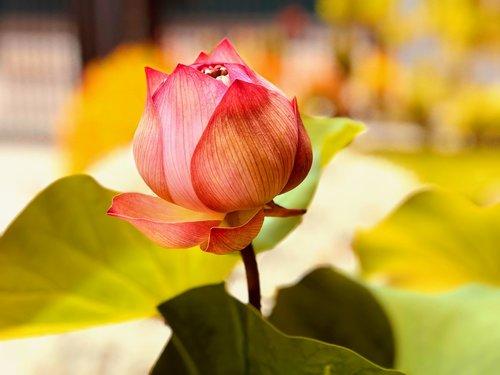 lotus  bud to be open  fresh