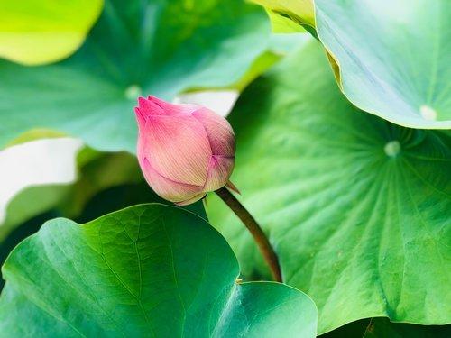 lotus  unique  bud