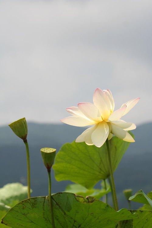 lotus  white flowers  pond