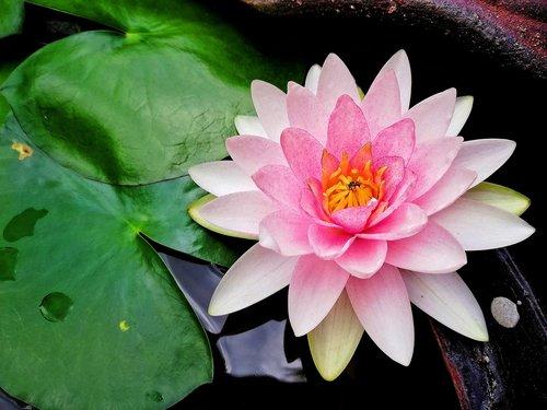lotus  flowers  water plants
