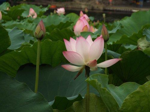 lotus  dragon boat festival  noble