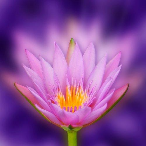 lotus  flower  bokeh